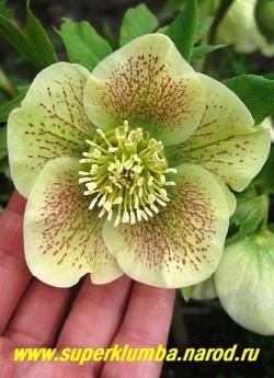 МОРОЗНИК ВОСТОЧНЫЙ (Нelleborus orientalis)  наружные часть лепестков имеет бело-розовый цвет, внутренняя бело-зеленая с затейливым рисунком из пурпурных точек и штрихов, диаметр цветка 6-8 см, лекарственное, помимо лекарственных свойств просто очень красивое растение. ЦЕНА 200-250 руб