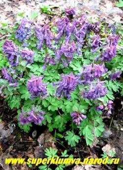 ХОХЛАТКА ГАЛЛЕРА или ПЛОТНАЯ (Corydalis Halleri=Corydalis solida ) , фиолетово-синие цветы собранные в соцветие-кисть, эфемероид, высота 10-20 см, цветет в апреле-мае.  ЦЕНА 150 руб (2 шт)