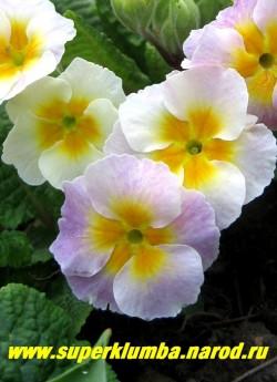 """Примула гибридная """"ХАМЕЛЕОН №3 """"ЯБЛОНЕВЫЙ ЦВЕТ"""". Меняет цвет с лимонно-белого на нежно-розовый, крупноцветковая, высота до 20 см, цветет апрель-май, ЦЕНА 250 руб (делёнка) НЕТ НА ВЕСНУ"""
