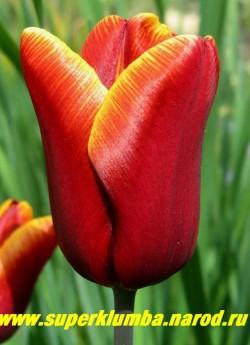 """Тюльпан АБУ ХАСАН (Tulipa Abu Hassan) класс """"триумф"""", темно-коричнево-красный с желтой каймой, высота бокала до 7 см, сорт-шедевр, высота до 50 см, среднепоздний, отличная выгонка ЦЕНА 70 руб (1 лук). НЕТ В ПРОДАЖЕ"""