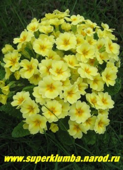 """Примула гибридная """"ЛИМОННАЯ"""". Лимонная с оранжево-желтой звездочкой в центре. Высота до 15 см, цветет апрель-май, ЦЕНА 100 руб (делёнка)"""