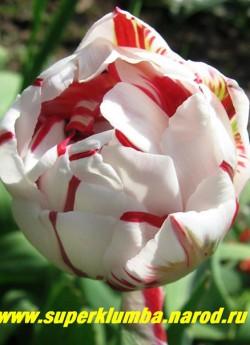 Тюльпан КАРНАВАЛ ДЕ НАЙС (Tulipa Carnaval de Nice)  махровый поздний (пионовидный), белый с малиновой полосой по центру лепестка, лист украшен розовой каймой, долгое до 2-3 недель цветение, сорт-шедевр, отличная срезка, высота 45-50 см. НЕТ В ПРОДАЖЕ