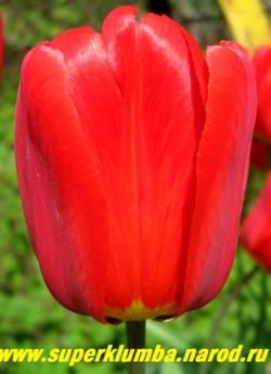 """Тюльпан ПАРАД (Tulipa Parad) класс """"Дарвиновы гибриды"""", ярко красный с черной серединой , шелковыми лепестками, очень крупный до 12 см бокал, на солнце раскрываются, открывая красивую черную с желтым кантом середину, высота 60-70 см, самый ранний ЦЕНА 150 руб (3 лук)."""