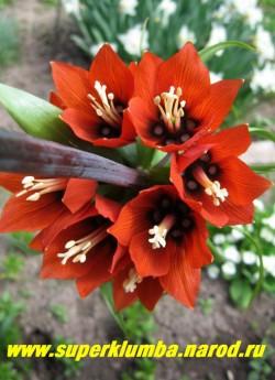 "РЯБЧИК ИМПЕРАТОРСКИЙ ""Рубра"" (Fritillaria imperialis ''Rubra'') Красота изнутри. ЦЕНА 500 руб  (1 лук)"