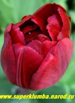 Тюльпан АББА (Tulipa ABBA) махровый ранний, вызывающий винно-красный , высота до 30 см,долгоцветущий, подходит для выгонки и срезки. ЦЕНА 80 руб (1 лук)  НЕТ В ПРОДАЖЕ