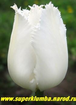 Тюльпан СВАН УИНГС (Tulipa Swan Wings)  бахромчатый, чисто-белый нарядный , среднепоздний, высота до 50 см ЦЕНА 70 руб (1 лук)