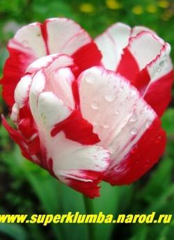 """Тюльпан ЭСТЕЛЛА РИНВЕЛЬД (Tulipa Estella Rinveld) попугайный, Экзотический сильно гофрированный тюльпан, соединяющий в своей окраске малиново-красные и кремово-белые """"всплески"""". среднепоздний , высота до 50 см, ЦЕНА 80 руб (1 лук)  НЕТ В ПРОДАЖЕ"""