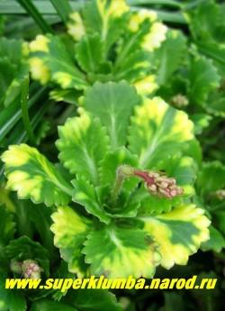 """КАМНЕЛОМКА ТЕНИСТАЯ """"Ауреапунктата"""" (Saxifraga x urbium ''Aureopunctata'')  Листья зеленые с желтыми пятнами. Цветы нежн=орозовые, в середине пурпурные на высоких (до 40 см) цветоносах, Высота розетки 10 см, цветет май-июнь, ЦЕНА 200 руб (3 розетки)"""