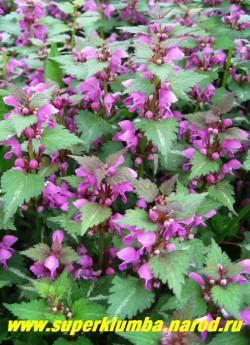 "на фото цветет ЯСНОТКА КРАПЧАТАЯ ""Розеум"" ( (Lamium maculatum ""Roseum""). ЦЕНА 150 руб (1дел)"