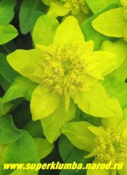 МОЛОЧАЙ МНОГОЦВЕТНЫЙ (Euphorbia polychroma)  цветы крупным планом. Особенно хорош при одиночных посадках на светлых местах. Цветет в течении 30-35 дней. Осенью кусты становяться розово-оранжевыми. ЦЕНА 200 руб ( кустик)