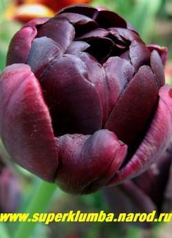 Тюльпан БЛЭК ХИРО (Tulipa Black Hero) махровый поздний (пионовидный), блестящие лепестки темно чернильного - почти черного цвета, высота до 40 см, долгое до 2-3 недель цветение, отличная срезка.  НЕТ  В ПРОДАЖЕ