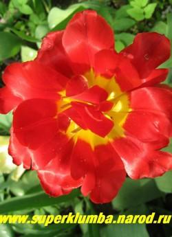 Тюльпан ВИКИНГ (Tulipa Viking) махровый ранний, ало-красный с желтым центром, с блестящими атласными лепестками, с ароматом, высота до 30 см, долгоцветущий, подходит для выгонки и срезки.   НЕТ В ПРОДАЖЕ