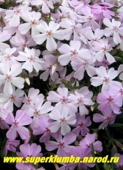 """ФЛОКС ШИЛОВИДНЫЙ """"бело-розовый хамелеон"""". Вечнозелёные ковры толщиной 5-10 см, распускающиеся белыми с розовым   глазком цветы ,постепенно розовеют, диаметр цветка около 2 см, высота 10 см, цветет с середины мая около 30   дней. ЦЕНА  200-250 руб  (1 кустик)"""