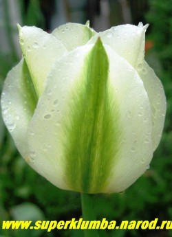 Тюльпан СПРИНГ ГРИН (Tulipa Spring Green)  зеленоцветковый, белый с зелеными широкими полосами по центру лепестка, высота до 50 см, среднепоздний, долгоцветущий. отличная срезка. ЦЕНА 100 руб ( 1 лук).
