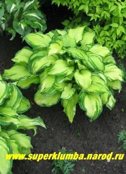 Хоста ШАРМОН (Hosta Sharmon) размер ML. Хоста -хамелеон с сердцевидными золотисто-кремовыми листьями с зеленым краем. Произвольные зеленые полосы по центру делают раскраску еще интереснее. В середине лета желтый цвет меняется на цвет шартрез . ЦЕНА 200 руб (  1шт)