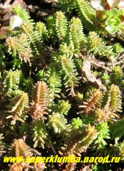 ОЧИТОК ШЕСТИРЯДНЫЙ (Sedum sexangulare ). На молодых побегах видно четкое расположение светло-зеленых линейных листьев по 6-ти рядам вдоль стебля, позже побеги вытягиваются и это становится малозаметным . Образует подушки высотой до 10 см. ЦЕНА 150 руб (1 деленка)