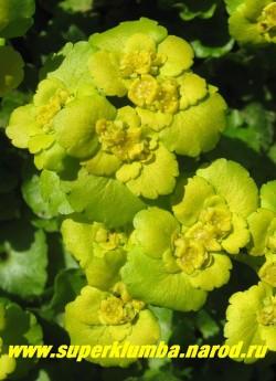 СЕЛЕЗЕНОЧНИК ОЧЕРЕДНОЛИСТНЫЙ (Chrysosplenium alternifolium) , Желтые цветы в густых соцветиях появляются в апреле- мае . Желтые околоцветники вокруг цветов создают впечатление, что цветы крупные. на мягких почвах нуждается в ограничении. ЦЕНА 150-200 руб (делёнка)