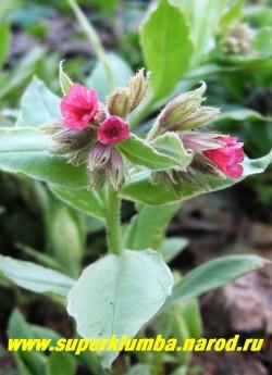 """цветет МЕДУНИЦА """"Ред старт"""" - самая раннецветущая медуница. ЦЕНА 200 руб (делёнка)"""
