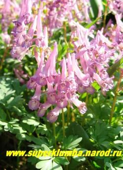 ХОХЛАТКА КАВКАЗСКАЯ (Corydalis caucasica)  сиренево-розовые цветы собранные в соцветие-кисть, эфемероид, высота 10-20 см, цветет в апреле-мае. ЦЕНА 120 руб (1 шт)