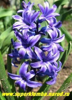 """Гиацинт восточный """"МАРИ"""" (Hyacinthus orientalis """"Marie"""") , выс. 10-12 см, цветет май, ЦЕНА 100 руб (1шт)"""