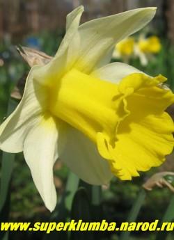 Нарцисс ЛОЖНЫЙ вар. ЛОБУЛЯРИС (Narcissus pseudonarcissus ssp. Lobularis) Выдающийся по красоте природный вид, давший жизнь многим современным сортам. Трубчатый нарцисс, лимонно-белые, направленные вперед, лепестки околоцветника сочетаются с ярко-желтой крупной и длинной трубкой, высота 40 см,  НЕТ  В ПРОДАЖЕ