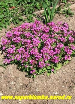 """АРАБИС КАВКАЗСКИЙ """"Коццинеа"""" (Arabis caucasica """"Coccinea'') цветущий кустик в моем саду. ЦЕНА 250 руб (1 дел) НЕТ НА ВЕСНУ"""