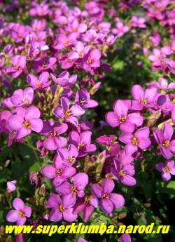"""АРАБИС КАВКАЗСКИЙ """" Коццинея"""" (Arabis caucasica ''Coccinea'') арабис с очень яркими малиново-красными цветами. ЦЕНА 250 руб (1 дел) НЕТ НА ВЕСНУ."""