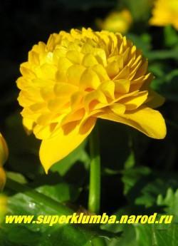 """КАЛУЖНИЦА БОЛОТНАЯ """" Флоре Плена"""" (Caltha palustris flore plena)  крупным планом, диаметр густомахровых ярко-желтых цветков достигает до 5 см. Редкое по красоте весеннее растение. ЦЕНА 250 руб (делёнка)"""