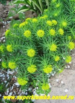 МОЛОЧАЙ КИПАРИСОВЫЙ (Euphorbia cyparissias) очень декоративный неприхотливый молочай, похожий на елочку- отсюда и название. Цветет в июне-июле, осенью вторично желтыми соцветиями, выс. до 30 см, ЦЕНА 150 руб (кустик)