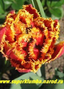 Тюльпан ФРИДЖЕД БЬЮТИ (Tulipa Frindget Beauty)  махровый бахромчатый поздний, шикарный ярко-красный с золотой бахромой, высота до 30см, долгоцветущий, прекрасная срезка НЕТ  В ПРОДАЖЕ