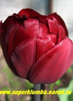 Тюльпан АНКЛ ТОМ (Tulipa Uncle Tom)  махровый поздний (пионовидный), Шелковистый крупный цветок насыщенного красно-коричневого цвета с малиновым отливом. отличная срезка, долгое до 2-3 недель цветение, высота 35-45 см, НЕТ В ПРОДАЖЕ