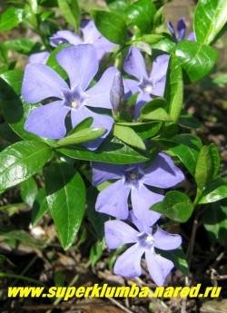 БАРВИНОК МАЛЫЙ (Vinca minor) вечнозеленый стелющийся многолетник с небесно-голубыми, распускающимися в мае цветами и глянцевой нарядной темно-зеленой листвой. Все барвинки предпочитают тень. Высота 10-15 см, цветет май-июнь. ЦЕНА 150-200 руб (делёнка)
