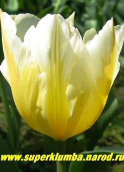 """Тюльпан СВИТХЭТ (Tulipa Sweetheart)  группа """"тюльпаны Фостера"""", лимонно-желтый низ и белый верх, лепестки имеют изрезанные края. Очень эффектный, долгоцветущий, среднепоздний, высота до 50 см, отличная срезка. ЦЕНА 80 руб (1 лук) НЕТ В ПРОДАЖЕ"""