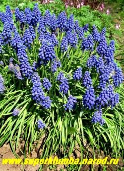 МУСКАРИ АРМЯНСКИЙ (Muscari armeniacum) кустик в моем саду. Мускари обладают приятным, сильным ароматом, ЦЕНА 150 руб (6 шт)