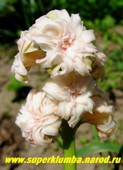 """Гиацинт махровый """"САНФЛАУЭР"""" (Hyacinthus orientalis """"Sunflower"""") махровый нежно-кремовый, высота 10-15 см. НЕТ В ПРОДАЖЕ"""
