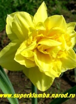 """Нарцисс """"ФЛАЙЕР"""" (Narcissus """"Flyer"""") Махровый. Крупный густомахровый цветок с яично-желтыми лепестками околоцветника и выростами. Диаметр 7-8 см, высота 45 см. Среднепоздний. НОВИНКА!  ЦЕНА 100 руб (1 лук)"""