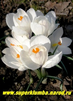 """КРОКУС ВЕСЕННИЙ """"Жанна д Арк"""" (Crocus vernus ''Jeanna d''Arc'') крупноцветковый белый крокус , цветет апрель-май.   ЦЕНА 100 руб (2 шт)"""