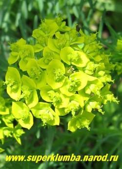 соцветие МОЛОЧАЯ КИПАРИСОВОГО (Euphorbia cyparissias)  цветы душистые. Это растение довольно быстро разрастается, поэтому рационально будет посадить его в большом кашпо или другой емкости. ЦЕНА 150 руб (кустик)