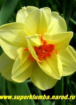 """Нарцисс """"ТАИТИ"""" (Narcissus """"Tahiti"""") махровый. Ярко-желтые доли околоцветника с оранжево-красными выростами, диаметр цветка 8-10 см, высота 35-40 см Среднепоздний. НОВИНКА!  ЦЕНА 100 руб (1 шт)"""