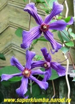 """КЛЕМАТИС """"Сизая птица"""" (Clematis Sizaia Ptitsa) очень неприхотливый сорт с оригинальными сине-фиолетовыми  цветами  со спирально-закрученными  лепестками, диаметр цветка 9-11 см,  длина побегов до 2,5 м , цветет с июля по октябрь на побегах текущего года. ЦЕНА 300-400 руб"""
