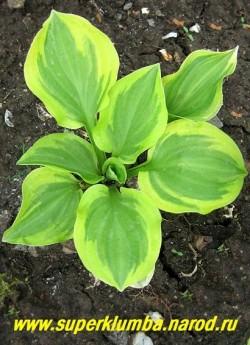 """Хоста ГОЛДЕН ТИАРА (Hosta """"Golden Tiara"""") размер SM. Светло-зелёные листья сердцевидной формы окаймлены широкой золотисто-жёлтой каймой, высота 10-15см, Может использоваться , как бордюрная. Призер выставок. ЦЕНА 150 (1 шт) или 400 руб ( куст  4-5 шт)"""
