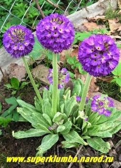 "Примула мелкозубчатая ""ФИОЛЕТОВАЯ КРУПНОЦВЕТКОВАЯ"" (Primula denticulata)  фото куста. ЦЕНА 300 руб (штука)"