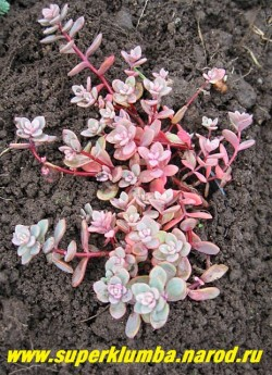 СЕДУМ СИНИЙ (Sedum cyaneum) красивый очиток с многочисленными стелющимися и укореняющимися стеблями, 4—6 см высоты. Листья некрупные голубые на красноватых побегах . Разрастаясь, образует ковер. Цветет в августе ярко-розовыми цветами собранными в щитковидные соцветия.  НЕТ В ПРОДАЖЕ