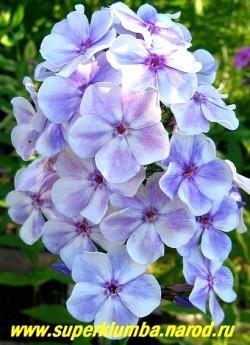 Флокс метельчатый ГЖЕЛЬ (Phlox paniculata Gzhel) Е.А. Константинова, 2003, С, 100/4,2. Белые с синими яркими тенями и более темным глазком цветы , Одна половина лепестка полностью голубая. Соцветие округло-коническое, плотное. Куст прочный, высокий, но компактный. ЦЕНА 250 руб (1 шт) или 500 руб  (куст: 3-4 шт)