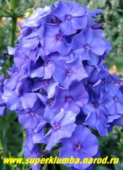 Флокс метельчатый БЛУ ПАРАДАЙС (Phlox paniculata Blue paradise) В пасмурную погоду , вечером и в тени голубой. ЦЕНА 250 руб (1 шт) или 550 руб (кустик: 3-4 шт)