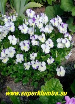 """ФИАЛКА РОГАТАЯ  """"Ребекка """" (Viola cornuta Rebecca)  Многолетняя фиалка до 20 см высотой.   Цветки до 5 см в диаметре, многочисленные, с рогообразным шпорцем - белые с желтым глазком и синим резным кантом. Цветение с мая по октябрь. НОВИНКА! ЦЕНА 250 руб (1 шт) НЕТ НА ВЕСНУ."""