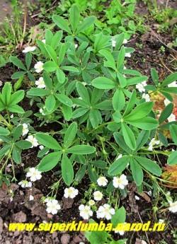 ЛАПЧАТКА БЕЛАЯ (Potentilla alba) травянистое растение 8-15 см высотой с пальчато-лопастными блестящими листьями, обильно цветущее белыми цветами до 3 см в диаметре. Цветет с мая по август. Корневище используется в лечебных целях, особено эффективна при заболеваниях щитовидной железы, а также гипертензии, желудочно-кишечных заболеваниях, как противоопухолевое и др. НОВИНКА!  ЦЕНА 200-250 руб (1 делёнка)