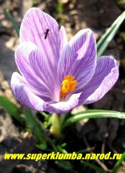 """КРОКУС ВЕСЕННИЙ (Crocus vernus) """"лиловый с белыми полосками""""  крупноцветковый, цветет апрель-май, ЦЕНА 120 руб (3 шт)"""