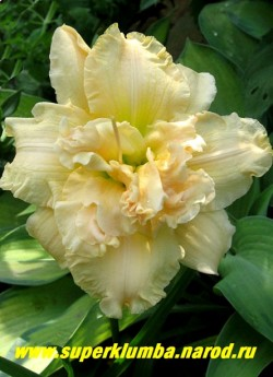 Лилейник ШНИКЕЛЬ ФРИТЦ (Hemerocallis Schnickel Fritz) Невысокий бордюрный махровый лилейник. Практически белый (кремово-белый) с зеленоватым горлом. Плотная текстура лепестков. Высота - 40 см; диаметр цветка -13 см. ЦЕНА 450 руб (1 шт)  НЕТ НА ВЕСНУ