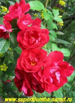 """РОЗА """" ФЛАММЕНТАНЦ"""" ? очень красивый яркий насыщенно-красный цвет, полумахровые цветы диаметром 6-8 см собраны в кисти по 3-7 цветов. Морозостойкая, неприхотливая, высота до 2м, цветет очень обильно в течении 30-35 дней НЕТ В ПРОДАЖЕ"""